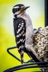 Red Cockaded Woodpecker (Dave Hallock) Tags: woodpecker bird redcockaded aviary davehallock hallock nikon nikond7100 tamron tamron7020028g2 virginia va ashburn ashburnva nova wings feathers seed bokeh