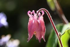 Bonnet time again (AngharadW) Tags: angharadw stem hair backlit pink bokeh dof flower aquilegia granny'sbonnet bonnet