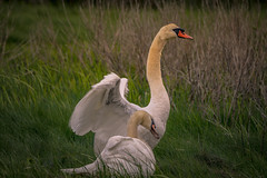 A Tender Moment (lablue100) Tags: muteswans couple sad nature tenderness love wings colors action animals birds feathers beauty