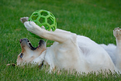 Happy, Silly Boy (lablue100) Tags: pets pet dogs dog lab labrador labradorretriever retriever yellowlab playing nature outdoors grass upsidedown paws ball toys action happy landscapes silly legs