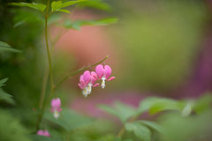The Heart of Spring... (KissThePixel) Tags: lamprocapnosspectabilis bleedingheart heart flower foliage flora flowers spring may monthofmay nature macro makro garden cottagegarden bokeh beautiful bokehlicious beauty beautifulday dreamy softbokeh dreamingoflight dreamybokeh soft pastel pink pinkflowers green meadow nikon nikkor f12 12 50mm nikondf