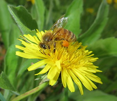 Pollen Covered Honey Bee Feeding On A Dandelion Flower IMG_2557 (Ted_Roger_Karson) Tags: northernillinois handheldcamera northern illinois hand held camera dandelion canon powershot sx280 hs honey bee back yard add tags flying macro flower thisisexcellent flowers super lens flowerhead friends hd eyes macroscopic pollen animal outdoor insect pollinator plant depth field animals garden