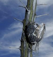 Cicadas mating on an Ocotillo branch; San Pedro River Valley, Arizona - close up (Lon&Queta) Tags: 2017 animals arizona arthropods cicadasfamilycicadidae flickr freelivinghemipteranssuborderauchenorrhyncha gps galiuromountains hemipterabugs insects moorescactusdodgercicadacacamamoorei ocotillofouquieriasplendens pinalcounty sanpedrorivervalley succulents usa unitedstatesofamerica