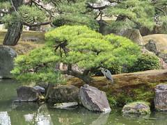 Gardens, Nijō Castle (Sean_Marshall) Tags: unescoworldheritagesite kyoto 京都 二条城 castle nijōcastle