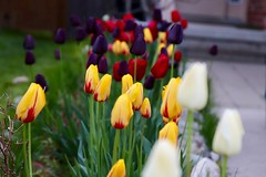 The Line Up (Haytham M.) Tags: delight canada ontario outdoor outdoors decoration lawn frontyard may afternoon dusk sigma1770mm canont7i flower flowers nature plant plants colourful tulips