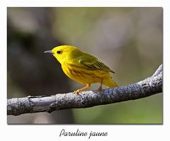 Paruline jaune / Yellow Warbler 153A4512 (salmo52) Tags: oiseaux birds salmo52 alaincharette parulinejaune yellowwarbler danville paruline parulidés parulidae étangburbank setophagapetechia mangrovewarbler passériformes