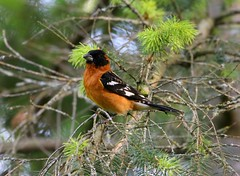 Black-headed Grosbeak (Male) (Jewill16) Tags: backyard bird songbird surreybc