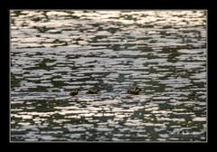 Race on (the_coprolite) Tags: duckling coquitlam bc britishcolumbia lafargelake canada nikon d750 sigma 150600mm