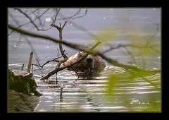 Beaver (the_coprolite) Tags: castorcanadensis beaver coquitlam bc britishcolumbia lafargelake canada nikon d750 sigma 150600mm