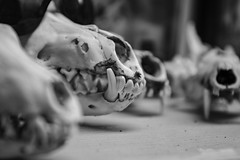 Snaggle Tooth (Z. Abbey --- www.zabbeyphotography.com) Tags: 80d canon80d canoneos80d canon blackandwhite macro blackandwhitephotography macrophotography skull