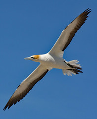 Gannet (Uhlenhorst) Tags: 2010 newzealand neuseeland animals tiere birds vögel travel reisen coth coth5