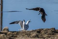 IMG_9977 gull and crow (starc283) Tags: starc283 bird birding birds nature naturesfinest naturewatcher