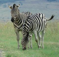 Zebra (Pixi2011) Tags: zebra wildlifeafrica southafrica africa rietvleinaturereserve wildlife wildanimals animals nature