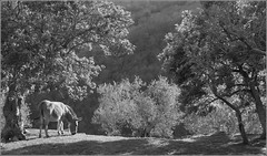 The Forest's Blessed Abode (RyanTaylor1986) Tags: umbria italy hill farm donkey forest olive trees apennine elderberry belinda stotler the forests blessed abode