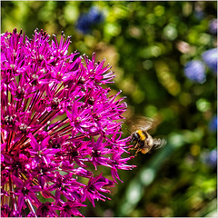 Week 21 Pollination (Dominic@Caterham) Tags: flower bokeh sunlight spring bee pollination