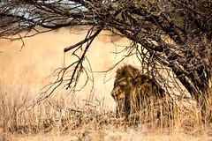 """Namibia - Etosha  """"The Royal Nap"""" (Julien O'Farley) Tags: africa animaux bush etosha lion namibie pays savanna trees géographie okaukuejo"""