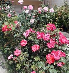 (Giannis Giannakitsas) Tags: τριανταφυλλο rose roses λουλουδια flower flowers