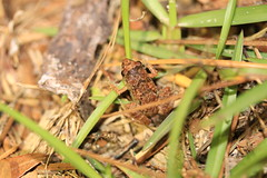 Greenhouse Frog (Zach Hawn) Tags: gulfcoast ussouth south southernus gulfofmexico wildlife animals nature naturenerd outdoors biodiversity gulfstates florida amphibians herps frog toad