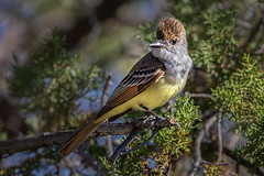 Brown-crested Flycatcher (Eric Gofreed) Tags: arizona baldwintrail browncrestedflycatcher flycatcher yavapaicounty