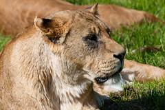 Lion (peterhagger677) Tags: 2019 lion may2019 woburnsafaripark