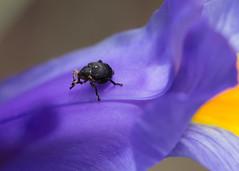 Snuitkever op een iris (herman hengelo) Tags: snuitkever iris curculionoidea snoutbeetle derrüsselkäfer garden hengelo thenetherlands rüsselkäfer weevils