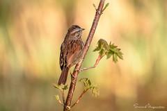 Song Sparrow (suman.photo) Tags: washingtonstate bokeh sparrow bird nature wildlife nikon d810 pacificnorthwest