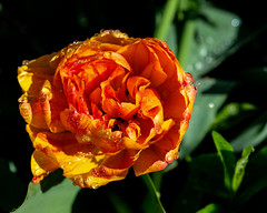 Lyndale Park Rose Garden, Minneapolis 5/20/19 #flowers #raindrops (Sharon Mollerus) Tags: minneapolis mn cfptig19