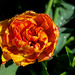 Lyndale Park Rose Garden, Minneapolis 5/20/19 #flowers #raindrops