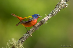 Painted Bunting (Earl Reinink) Tags: bird animal bunting paint painted paintedbunting song songbird spring branch tree lichen moss outdoors nature woods forest earlreinink uueazaodea