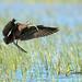 Ibis falcinelle - Plegadis falcinellus (Aiguamolls, Espagne) 04 mai 2019