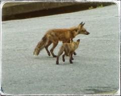 Mama Fox & Her Kit   Little John Trail   Marietta, GA (steveartist) Tags: animals mammals foxes femalefox juvenilefox kits sonydscwx220 snapseed mariettaga redoakpark stevefrenkel telephoto