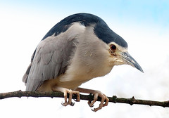Knight Heron (Ger Bosma) Tags: 2mg286122filtered kwak nycticoraxnycticorax blackcrownednightheron nightheron nachtreiher martinetecomún bihoreaugris héronbihoreau