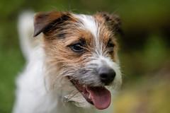 DSC05318.jpg (Macca h) Tags: a7iii animaleyeaf sony batis zeiss 85mm dog parsonrussell