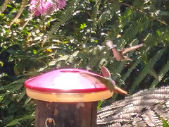 Colibríes del Ecuador. (Andreilate) Tags: colibri colibries birds ecuador travel birdwatching nature quinde