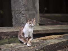 GFX50S__DSF4149_C1 (Bazoka+Cynthia) Tags: cat lori 小婆 新北市 猴硐 瑞芳區 貓 阿偉
