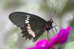 Butterfly 2019-35 (michaelramsdell1967) Tags: butterfly butterflies macro nature animal animals insect insects beauty beautiful pretty lovely vivid vibrant detail delicate red white purple upclose closeup black bug bugs garden colorful wings spring fragile zen