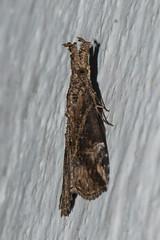 Makunda Insects-7531 (Vijay Anand Ismavel) Tags: makundamoths nikond800 hypeninae