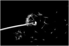 lever les yeux vers des milliers d'étoiles . . . HMBT (nickylechatreux) Tags: dandelion monochrome macromonday hmm fourelements nature nb natureisanartist naturephotography bw monochromebokehthuesday hmbt