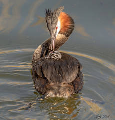 DSC6241  Great Crested Grebes.. (Jeff Lack Wildlife&Nature) Tags: greatcrestedgrebe grebe grebes birds avian animal animals wildlife wildbirds wetlands waterbirds wildlifephotography jefflackphotography waterways lakes ponds reservoirs reeds reedbeds estuaries estuary countryside coastalbirds nature
