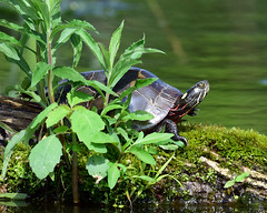 DSC_6284.jpg=052019 (laurie.mccarty) Tags: paintedturtle turtle water animal reptile nature wildlife