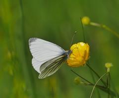 P1890152-Grünader-Weißling (Bine&Minka2007) Tags: grünaderweisling schmetterlinge butterfly butterflies mittwochsmakro