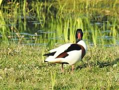 Shelduck - Who's Watching The Watcher (Gilli8888) Tags: nikon p900 coolpix tyneandwear whitleybay wetlands stmaryswetlands nature stmarysisland birds waterbirds duck shelduck drake water pond green reeds