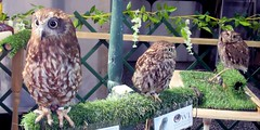 Jensen,Thor and Chester (billnbenj) Tags: barrow cumbria owl tawnyowl littleowl raptor birdofprey westernscreechowl