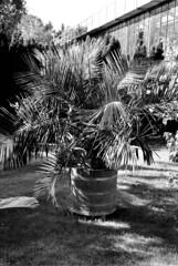 15.15-25 (analogish) Tags: 35mm 135film bw blackwhite botanischergartenköln cologne floraköln kmzjupiter850mmf2m39 kodaktrix400 köln leicamp reflectaproscan7200 schwarzweiss sonnar