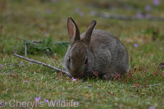 Rabbit (Cheryl's Wildlife) Tags: wildlife nature 2019 birdwatching nikon sigma photography naturereserve rspb minsmere suffolk eastanglia coast suffolkwildlifetrust