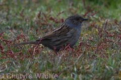 Dunnock (Cheryl's Wildlife) Tags: wildlife nature 2019 birdwatching nikon sigma photography naturereserve rspb minsmere suffolk eastanglia coast suffolkwildlifetrust