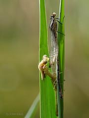 Beim Libellenschlupf life dabei (AchimOWL) Tags: owl libelle makro macro natur nature g9 tier insekt wildlife outdoor lumix panasonic olympus ngc macrodreams schlupf fauna dragonfly kleinlibelle teich tümpel postfocus postfocusstack fledermausazurjungfer