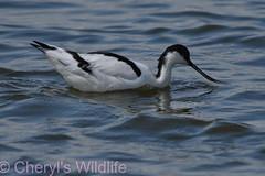 Avocet (Cheryl's Wildlife) Tags: wildlife nature 2019 birdwatching nikon sigma photography naturereserve rspb minsmere suffolk eastanglia coast suffolkwildlifetrust