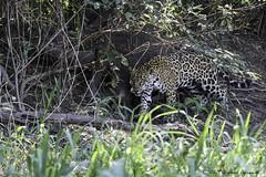 Jaguar on prowl - DI4A3404-1 (arvind agrawal) Tags: jaguar pantheraonca onca pantanal cuiaba brazil canoneos5dmarkiv canon 600mm arvindagrawal