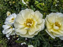 2705  Flores (Ricard Gabarrús) Tags: flor flores plantas natura naturaleza botanica jardin ricardgabarrus floral parque olympus ricgaba